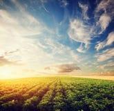 Potatisskördfält på solnedgången Jordbruk odlingsmark, lantgård Royaltyfria Bilder