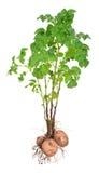 Potatisväxter Fotografering för Bildbyråer