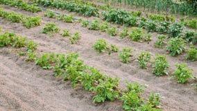 Potatisväxter som växer i lyftta sängar i grönsakträdgård i sommar Arkivbild