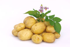 Potato 03 Stock Image