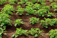 Potato. Healthy Young Potato plants in a big field royalty free stock images