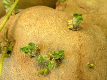 Potato. With sprout can use as background royalty free stock photo