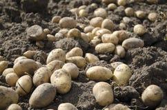 Potato. Collection of a potato crop, a potato lies on the earth Royalty Free Stock Photos