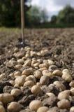 Potato. Collection of a potato crop, a potato lies on the earth Stock Photos