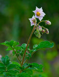 Potato. Bloom on green plants background Stock Images