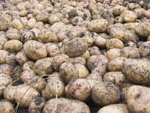 Potato. The image of the potato scattered by the ground Stock Photos