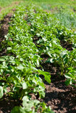 Potato Beds. Young Lush Green Bushes Royalty Free Stock Photography
