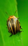 Potato Beetle Royalty Free Stock Image