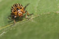 Potato beetle, colorado beetle on green leaf, macro. Potato beetle, black and white striped Colorado beetle on green leaf, macro Stock Photo