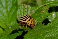 Potato Beetle Royalty Free Stock Photography
