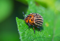 Potato beetle covered with water droplets Stock Photo