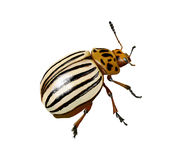 Potato beetle Royalty Free Stock Images