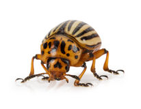 Potato beetle isolated on the white background Stock Photos