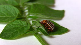 Potato beetle isolated on white Stock Images