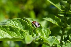 Potato beetle stock photography