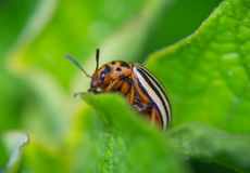 Potato Beetle resting on the leaves of potatoes Stock Image