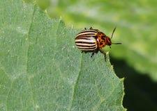 Potato beetle Royalty Free Stock Image