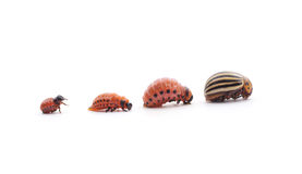 Potato beetles. Royalty Free Stock Image