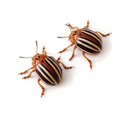 Potato Beetles Royalty Free Stock Photography