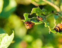 Potato beetles royalty free stock photo