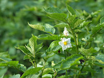 Potato in bloom Royalty Free Stock Photography