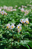 Potato bloom Royalty Free Stock Photography