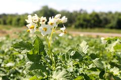 Potato blossom Royalty Free Stock Photography