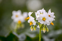 Potato blossom. Close up photo of a potato blossom, selective focus Royalty Free Stock Image