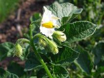 Potato blossom on the field Stock Photography