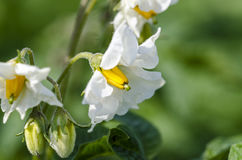 Potato. Blossom of potato Solanum tuberosum. Close up Stock Image