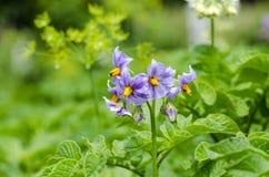 Potato. Blossom of potato & x28;Solanum tuberosum& x29;. Close up Stock Photography