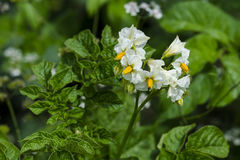 Potato. Blossom of potato & x28;Solanum tuberosum& x29;. Close up Royalty Free Stock Photo