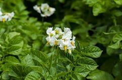 Potato. Blossom of potato & x28;Solanum tuberosum& x29;. Close up Stock Photos