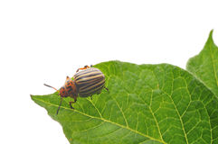 Potato Bug. Eating potato plant royalty free stock photography