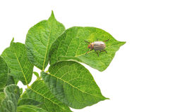 Potato Bug. Eating potato plant stock photos