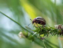 Potato bug. Potato beetle sitting on a blade of grass royalty free stock image