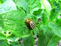 Potato bug close up. The potato bug eats young leaves of potatoes royalty free stock photos