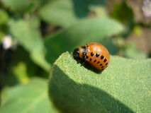 Potato bug. The Colorado beetle sits on a potato leaf and eats stock image