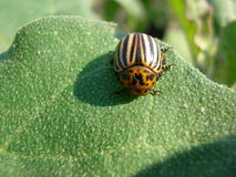 Potato bug. The Colorado beetle sits on a potato leaf and eats stock photography