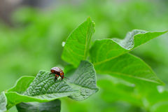 Potato bug eating from a potato leaf.  stock images