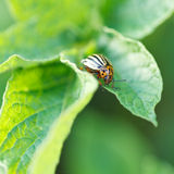 Potato bug eating potatoes leaves. In garden royalty free stock images