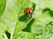 Potato bug eats potatoes leaves Royalty Free Stock Image