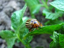 Potato bug close up. The potato bug eats young leaves of potatoes stock photography