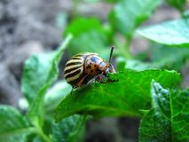 Potato bug close up. The potato bug eats young leaves of potatoes royalty free stock images
