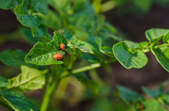 Potato bug in a green leaf. Potato bug in a green leaves royalty free stock photography