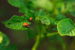 Potato bug in a green leaf. Potato bug in a green leaves royalty free stock photo
