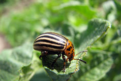 Potato bug Royalty Free Stock Image