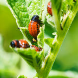 Potato bug larva eating potatoes leaves Royalty Free Stock Photo