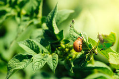 Potato bug larvae feeding on a plant leaf. In vegetable garden, selective focus stock photos