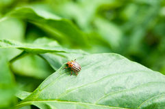Potato bug. On a leaf stock photos